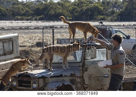 Kangaroo Island, Australia - March 10th, 2020: A Caretaker Feeding A Group Of Dingos In Their Compou