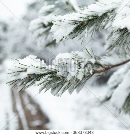 Pine Tree Branch Covered With Snow. Wheel Ruts On The Road In The Background. Winter Forest. Close-u