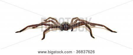 Huntsman Spider - Low Profile