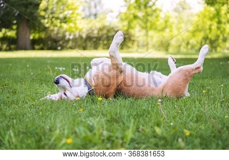 Funny Beagle Tricolor Dog Lying On The City Park Green Grass With Little Chamomile Flower On Head At