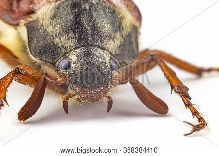 Closeup Insect Cockchafer On A White Background. Insects And Zoology