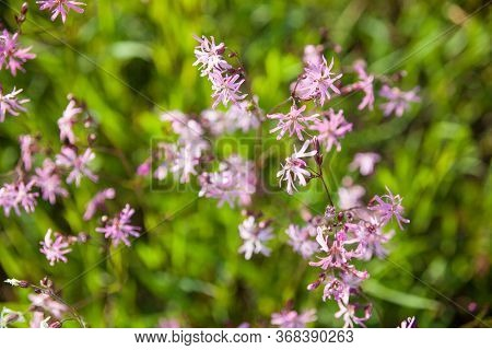 Pink Ragged-robin Flowers (lychnis Flos-cuculi) In The Green Meadow.