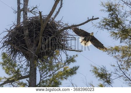 The Bald Eagle Flying To The Nest