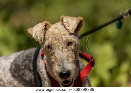 Wire Fox Terrier On The Park. The Wire Fox Terrier Is A Breed Of Dog, One Of Many Terrier Breeds.