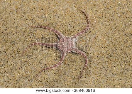 Ophioderma Longicauda Snake Brittle Star In Beach Sand