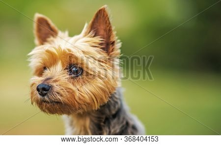 Pet And Animals. Ten Years Old Australian Silky Terrier Looking Forward. Close Up Photo.
