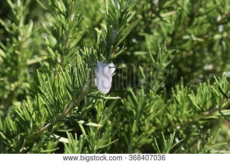 This Is A Close Up Image Of Spittlebug On Rosemary In A Carmel, California Garden.