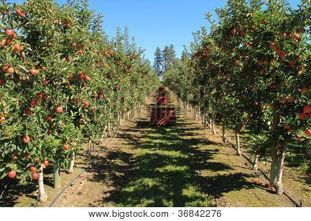 Apple Orchard 06