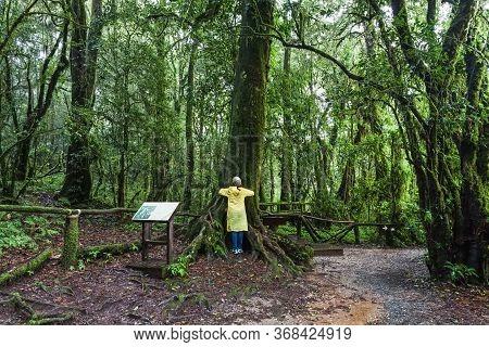 A Woman With Yellow Raincoat Hug Big Tree At Angka Nature Trail In Doi Inthanon National Park, Thail