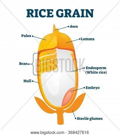 Rice Grain Vector Illustration. Labeled Educational Structure Description. Biological Scheme With In