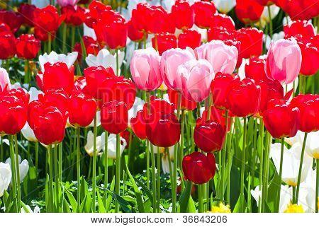Tulips In Spring.