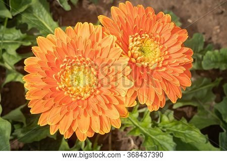 Orange Gerbera Daisy Or Gerbera Flower In Garden With Natural Light On Green Leaves Background
