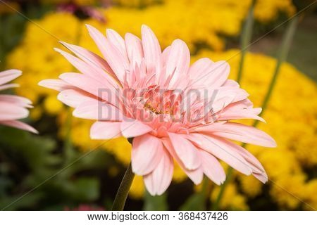 Red Gerbera Daisy Or Gerbera Flower In Garden With Natural Light On Side View