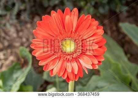 Red Gerbera Daisy Or Gerbera Flower In Garden With Natural Light On Green Leaves Background On Cente