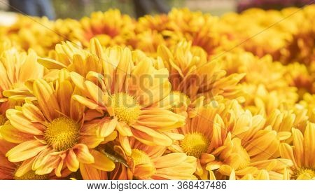 Orange Gerbera Daisy Or Gerbera Flower In Garden With Natural Light In Left Frame And Low Angle View