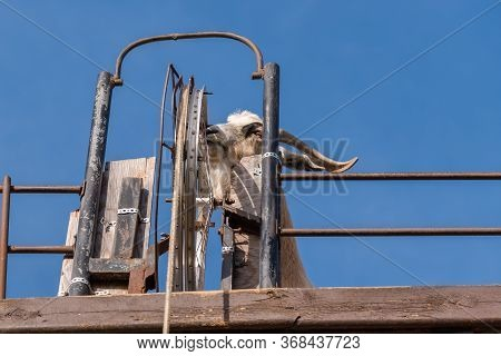 Armstrong, British Columbia/canada - October 23, 2016: Billy Goat On Goat Walk Platform Spins Wheel