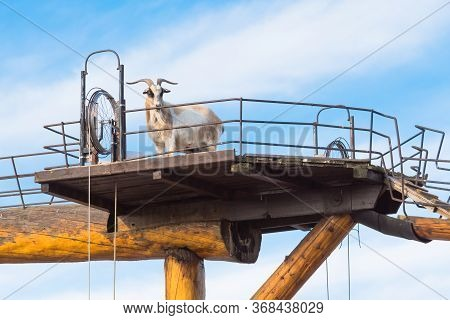 Armstrong, British Columbia/canada - October 23, 2016: A Billy Goat Stands On The Goat Walk Platform