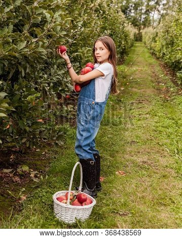 Yang Girl With Basket Full Of Ripe Apples In A Garden Or Farm Near Trees.