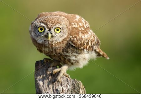 The Little Owl (athene Noctua) Sitting On The Dry Branch,portrait With Green Background.portrait Of