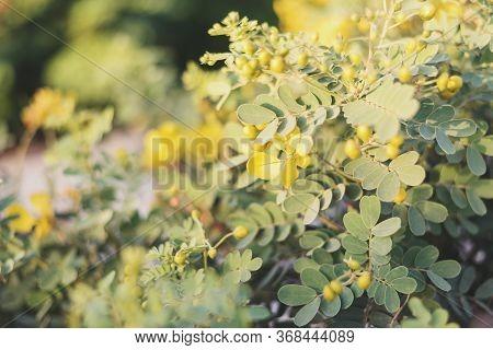 Senna Bicapsularis Or Cassia Bicapsularis. Shrub With Green Leaves And Beautiful Yellow Flowers. Sum