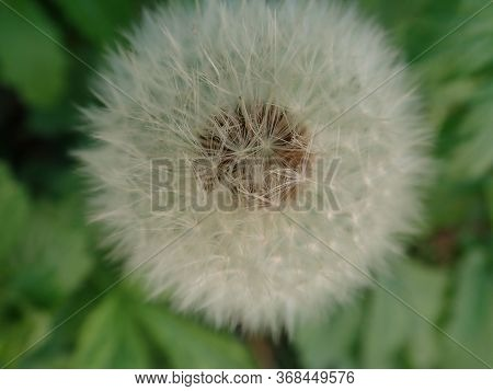 White Dandelion With Seeds In The Grass