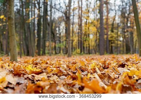 Macro Photography Of Fallen Leaves In The Autumn Forest. Yellow Fallen Leaves In Autumn.