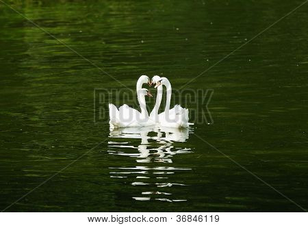 Four Swans Swimming