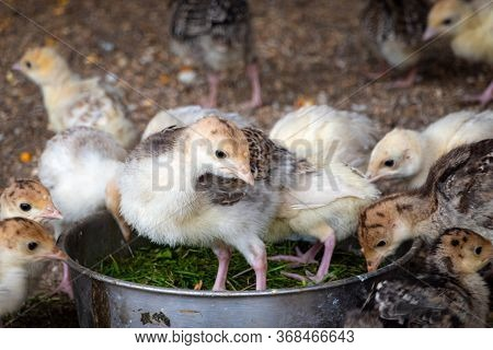 Close Up View Of Farm Birds – Little Turkey In Aviary. Raising Gobbler Birds In A Cage