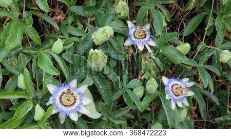Closeup Of Three Passion Flowers In Bloom In Andalusian Countryside