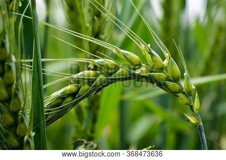 Macro Wheat, Barley. Beautiful Green Wheat Ear Growing In Agricultural Field, Rural Landscape. Green