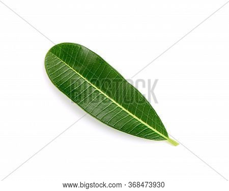Plumeria  Leave Isolated On White Background.green Leave On White Background.