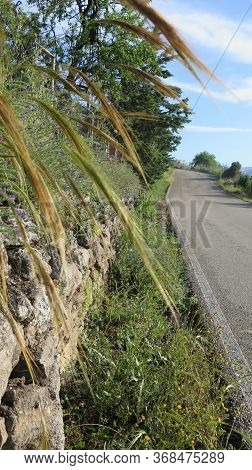 Wild Grass Growing In Roadside Verge In Andalusia, Spain