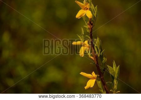 Yellow Broom Flowers. Spring Bush With Yellow Flowering