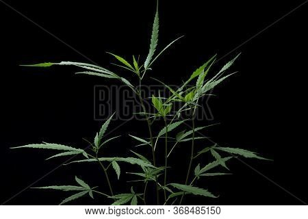 Cannabis Leaf On The Black Isolate Background