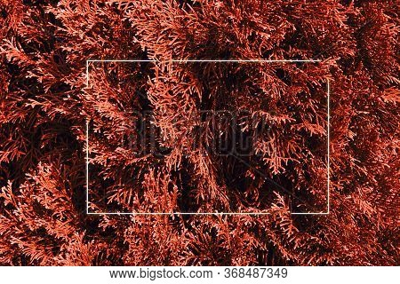 Green Leaf Thuja Texture Background With White Luminous Frame. Nature Concept.