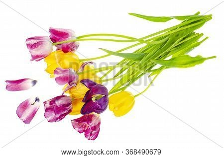 Wilted Bouquet Of Colored Tulips On White Background