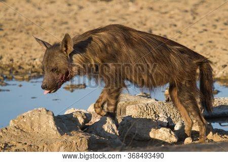 Injured Brown Hyena (hyaena Brunnea) At A Waterhole In The Kalahari