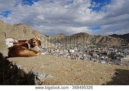 Leh City View From Leh Palace, Dog Looking Camera, Leh Ladakh City In Jammu & Kashmir State, North I