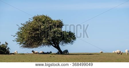 Sheep Grazing On A Hilltop In Sussex, Uk