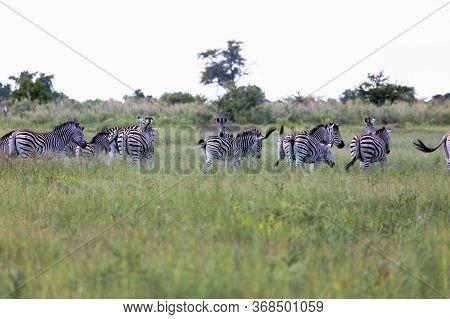 A Small Herd Of Zebra Run For Safety In The Open Grassland Of The Okavango Delta In Botswana