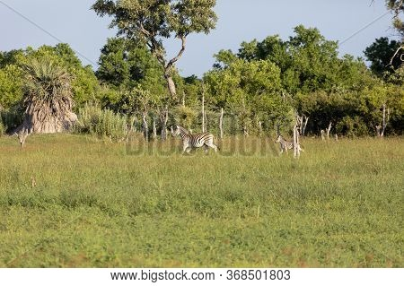 A Mother Zebra With Foal Walks Through Grassland In The Okavango Delta At The Edge Of A Small Forest