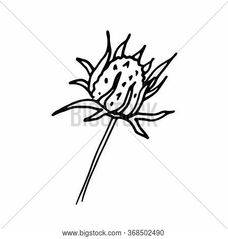 Chamomile, Rudbeckia Bud Of Flower. Floral Hand Drawn Engraving. Vector Illustration With Isolated S