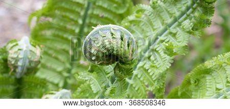 Shuttlecock-fern.matteuccia Spiral Fern Is A Genus Of Ferns With One Species: Matteuccia Struthiopte