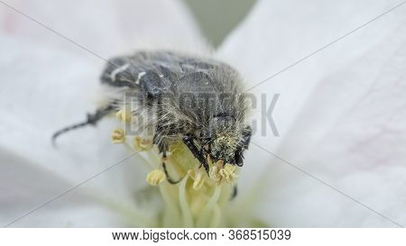 The Tropinota Hirta Pest Eats The Flowers Of Fruit Trees.