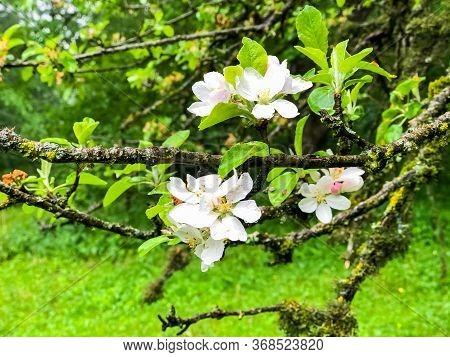Apple Tree Blossom, Apple Tree Flowers, Blooming Apple Tree
