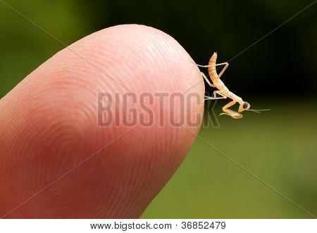 Praying Mantis (Mantodea) Nymph