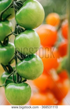 Ripe Tomatoes Are On The Green Blur Background. Tomatoes Are Grown In A Greenhouse On An Organic Far