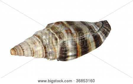 Brown Dotted Seashell