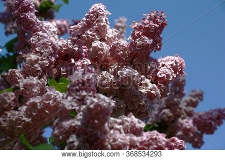 Magnificent Dense Pink Inflorescences Of The Blossoming Lilac Against The Background Of The Blue Sky