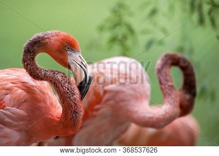 American Flamingo (phoenicopterus Ruber) Also Known As The Caribbean Flamingo Inhabits North America